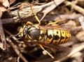 Free German Wasp (paravespula Germanica) Macro Stock Image - 13818091
