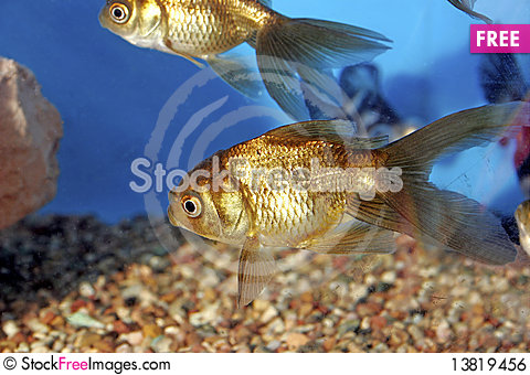 Chocolate Oranda Goldfish 700049 - Free Stock Photos ...