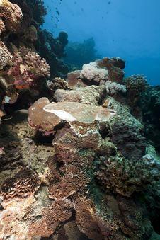 Free Leopard Torpedo Ray Stock Photos - 13810263