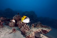 Free Butterflyfish And Ocean Stock Image - 13810281