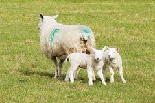 Free Spring Lambs Stock Photos - 13810693