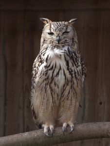 Free Owl Royalty Free Stock Image - 13810716