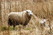 Free Spring Lamb And Mum Stock Image - 13810721