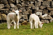 Free Spring Lambs Stock Images - 13810744