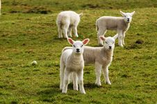 Free Spring Lambs Stock Photography - 13810782