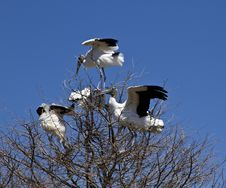 Free Wood Stork Stock Image - 13811971