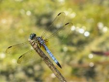 Free Blue Dragonfly Stock Image - 13812091