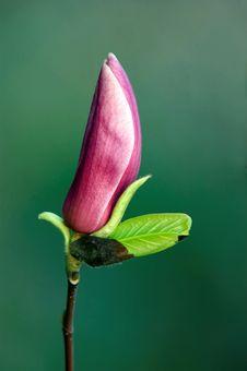 Free Magnolia Flower Stock Image - 13812121