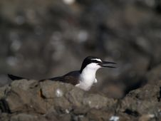 Free Bridled Terns (Sterna  Anaethetus Stock Image - 13812601