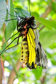 Free Big Butterfly Yellow Royalty Free Stock Photos - 13812668