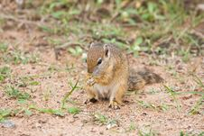 Free Squirrel Stock Photos - 13813463
