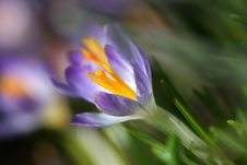Free Crocus Stock Photo - 13813780