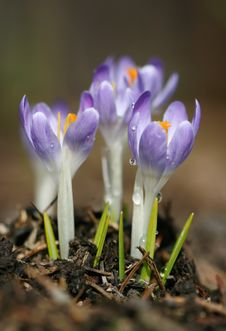 Free Violet Crocuses Stock Images - 13813784