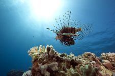 Free Lionfish And Ocean Royalty Free Stock Photo - 13813895