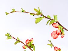 Free Cherry-flower Background Royalty Free Stock Photos - 13813908
