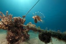 Lionfish, Coral And Ocean Stock Photo