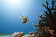 Lionfish, Coral And Ocean Stock Photos