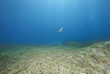 Free Eagle Ray And Ocean Stock Photography - 13814012