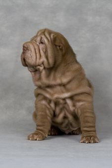 Free Shar-pei Royalty Free Stock Photography - 13814027