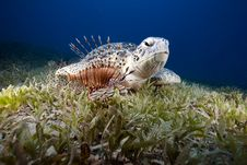 Green Turtle And Sea Grass Royalty Free Stock Photos