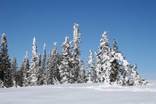 Free Snow Covered Trees Royalty Free Stock Images - 13814049