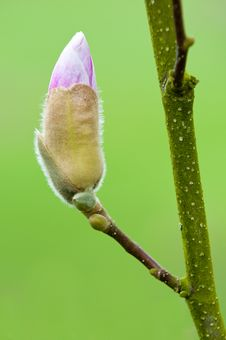 Magnolia In Bloom Royalty Free Stock Image