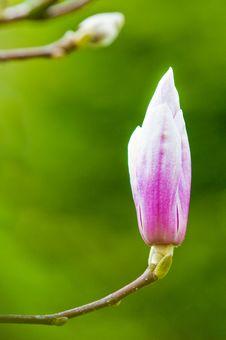 Free Magnolia In Bloom Stock Image - 13814551