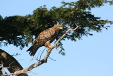 Free Tawny Hawk Stock Images - 13814554