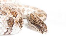 Free Snake Royalty Free Stock Photo - 13814605