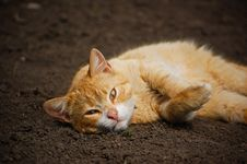 Free Orange Lazy Cat Royalty Free Stock Photo - 13814725