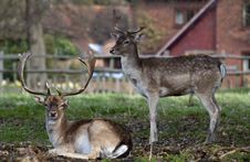 Free Two Young Deer In England Stock Photography - 13815162