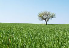 Free Meadow With Lonely Tree Royalty Free Stock Photo - 13815205