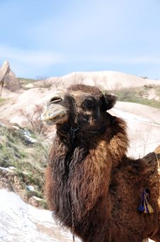 Free Camel In In Turkey Royalty Free Stock Image - 13815386