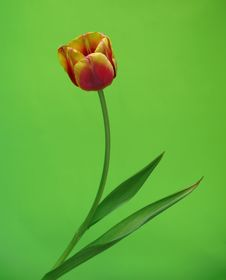 Free Tulip On Green Stock Image - 13816601