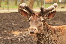 Free Zoo - Deer Portrait Stock Images - 13817284