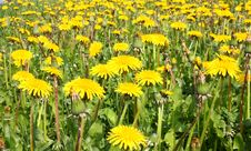 Free Dandelions On The Meadow Stock Image - 13817371