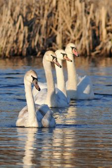 Free Row Of Young Swans Royalty Free Stock Photos - 13817768