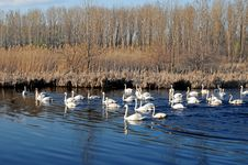 Free Swans On The Lake Stock Photo - 13817800