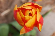 Free Tulip Royalty Free Stock Image - 13817826