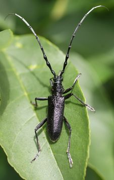 Free Black Bug(cerambyx Cerdo)on A Letter Royalty Free Stock Photos - 13817978