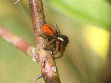 Free Jump Spider (philaens Chrysops) Stock Image - 13818041