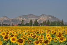 Free Sunflower Stock Photography - 13818392