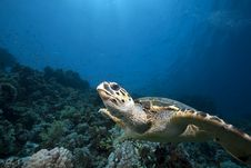 Free Hawksbill Turtle And Ocean Royalty Free Stock Image - 13818966