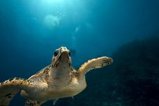 Free Hawksbill Turtle And Ocean Stock Image - 13818991