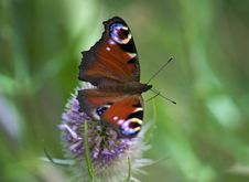 Free Peacock Butterfly Stock Photography - 13819032