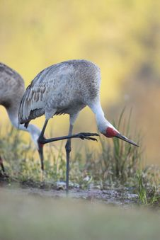 Free Sandhill Crane Royalty Free Stock Photo - 13819535