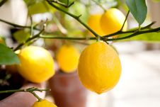 Free Lemons On A Tree Stock Image - 13819541