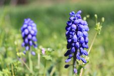 Free Grape Hyacinth I Royalty Free Stock Photography - 13819987