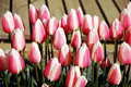 Free Pink And White Striped Tulips Stock Images - 13821484