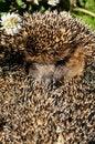 Free Hedgehog Stock Images - 13822244